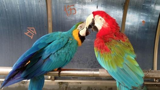 《作为一只鹦鹉如何与鹦鹉相处》,2分16秒,16:9,彩色有声,2014 / Jiang Zhi , How to get along with a parrot as a parrot,  2014,  video, color & sound 2'16