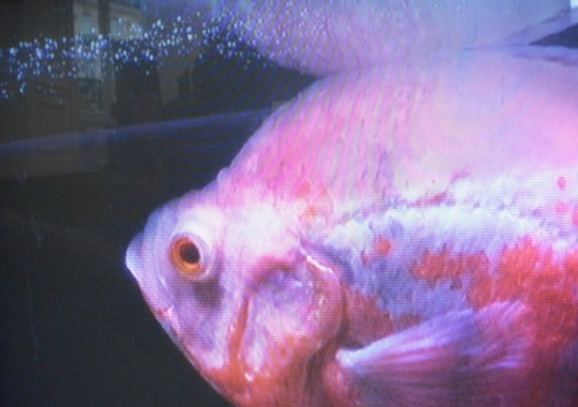 Weird red fish by Michael E. Smith's video at KOW - Paris Internationale