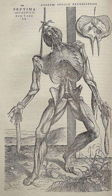 文艺复兴插画家维萨里(Andreas Vesalius)《人体构造》中的人体解剖图